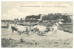 Cpa Saint Louis Du Rhône - Groupe De Boeufs Sur Les Bords Du Rhône - France