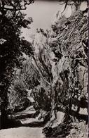 CPA JARDIN EXOTIQUE DE MONACO LA PERGOLA AUX BOUGAINVILLEES UN GROUPE DE CEREUS SERPENTAIRES - Exotische Tuin