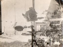 86Cps  Photo  Saint Jean De Thouars Jardin Une Rose En Gros Plan En 1927 - Thouars