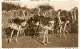 Curacao DWI - Ostrich Farm - On The Look Out - Birds