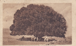 SYRIE TREES OF THE HOLY LAND. LOCUST BEAN TREE BELLE CARTE RARE !!! - Syrie