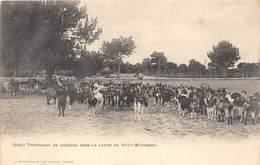 33-HAUT-MARANSIN- TROUPEAUX DE CHEVRES DANS LA LANDE DU HAUT-MARANSIN - France
