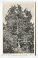 Rattans, Climbing Into A Tree Of Cyrtophyllum Peregrinum - Postcards