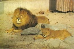 Leeuw Lion / Zoo Antwerpen - Lions