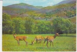 Dilijan Deers Uncirculated Postcard - Armenia