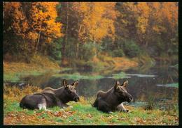 AKx Fauna | Elche Am Waldsee, Wildtiere,Herbstwald, See - Animali