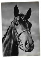 Cavallo. - Paarden