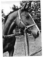 Cavallo. - Cavalli