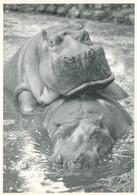 18/8 Hippopotames Amoureux !!!!!!! - Hippopotames