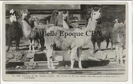 Bolivia / Perù ? - Close-up Of The Andean Camel / LLAMA ++++++ #1459 +++++ CARTE-PHOTO / Real Photo - Bolivie