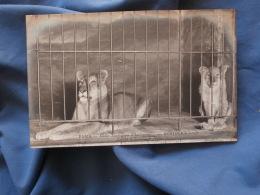 Paris  Bostock's Jungle  Lionne Et Lionceau De Nubie - ND 6 - R212 - Lions