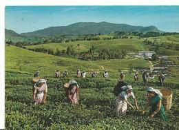 Thailande Nuwara Eliya Tea Pluckers - Thailand