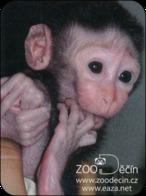 Zoo Decin (CZ) - Macaque - Animaux & Faune