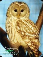 Zoo Ostrava (CZ) - Tawny Owl - Animaux & Faune