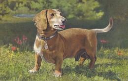 Dachshund - Basset - Teckel - Tackel - Tekkel - Dackel - Dog - Chien - Cane - Hund - Hond - Perro - Chiens