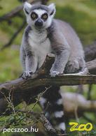 Zoo Pecs (HU) - Ring-tailed Lemur - Animaux & Faune