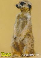 Zoo Pecs (HU) - Meerkat - Animaux & Faune