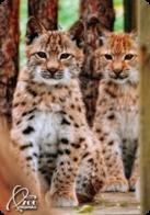 Zoo Kishinev (MD) - Baby Lynx - Animaux & Faune