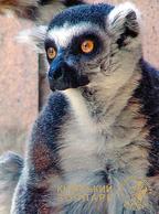 Zoo Kiev (UA) - Ring-tailed Lemur - Animaux & Faune