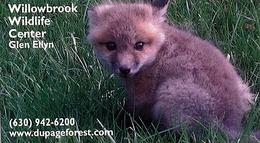 Willowbrook Wildlife Center (US) - Baby Fox - Animaux & Faune