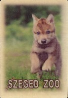 ZOO Szeged (HU) - Baby Wolf - Animaux & Faune