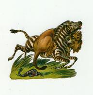 CHROMO DECOUPI      ZÈBRE ATTAQUE PAR UN LION    CHASSE       5 / 7 Cm - Animals