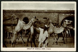 RB 1217 -  Early Real Photo Postcard - Group Of Camels - Aden Yemen Middle East - Yemen