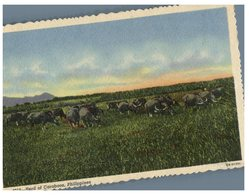 (101) Old Postcard - Philippines - Buffalo Cow Heard - Philippines