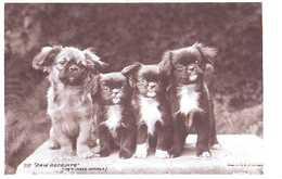 Pekinese Or Tibetan Spaniel - Dog - Chien - Cane - Hund - Hond - Perro - Chiens