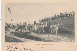 Arequipa - Llamas Transportando Carga - Peru