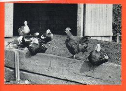 Photo H. KAMER - Le Coq Et Les Canards (animaux , Ferme) - Illustrateurs & Photographes
