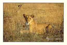 Afrique-CÔTE D'IVOIRE  Lionne Parc De La Comoé (lion Félidés)(-MAURICE ASCANI 76) *PRIX FIXE - Côte-d'Ivoire