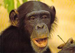 Afrique-CÔTE D'IVOIRE Parc National De La Comoé (chimpanzé Singe Singes Faune Fauna)(ph J-C NOURAULT 84595*PRIX FIXE - Côte-d'Ivoire