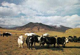 1 AK Mongolei * Eine Yak Herde In Der Mongolei * - Mongolia