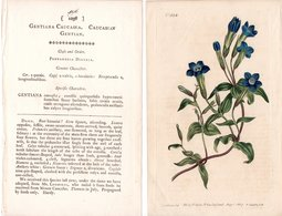 CURTIS'S BOTANICAL MAGAZINE, GENZIANA CAUCASICA, TAVOLA 1038, VOLUME 26, 1807 Genziana Caucasica – Caucasian Gentian - 1800-1849