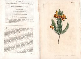 CURTIS'S BOTANICAL MAGAZINE, ERICA RESINOSA, TAVOLA 1139, VOLUME 28, 1808 Original Hand-Colored Lithograph - 1800-1849