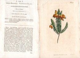 CURTIS'S BOTANICAL MAGAZINE, ERICA RESINOSA, TAVOLA 1139, VOLUME 28, 1808 Original Hand-Colored Lithograph - Libri Antichi