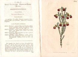 CURTIS'S BOTANICAL MAGAZINE, ERICA THUNBERGII, TAVOLA 1214, VOLUME 30, 1809 Original Hand-Colored Lithograph - 1800-1849