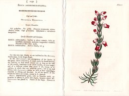 CURTIS'S BOTANICAL MAGAZINE, ERICA ANDROMEDAEFLORA, TAVOLA 1250, VOLUME 31, 1800 Original Hand-Colored Lithograph - 1800-1849