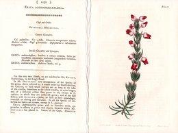 CURTIS'S BOTANICAL MAGAZINE, ERICA ANDROMEDAEFLORA, TAVOLA 1250, VOLUME 31, 1800 Original Hand-Colored Lithograph - Libri Antichi