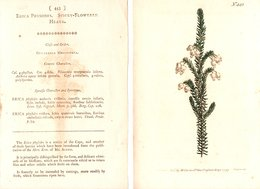 CURTIS'S BOTANICAL MAGAZINE, ERICA PHYSODES, TAVOLA 443, VOLUME 13, 1799 Original Hand-Colored Lithograph - Old Books