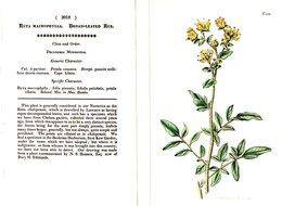 CURTIS'S BOTANICAL MAGAZINE, RUTA MACROPHYLLA, TAVOLA 2018, VOLUME 45, 1818 Original Hand-Colored Lithograph - 1800-1849
