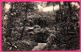 Group Of Tree Ferns At Hakgalla Gardens - Nuwara Eliya - PLATE Ltd N° 150 - Sri Lanka (Ceylon)