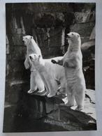 Ours Polaires - Bären