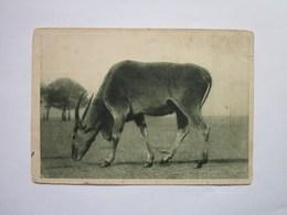 Zoological Series Antelope - Animals