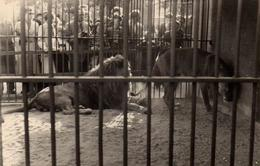 Amusante Photo Originale Qui Des Lions, Ou Des Visiteurs Sont En Cage Dans Ce Zoo ?  Berlin ? 1950/60 - Personnes Anonymes