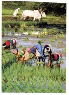 (30) Rice Paddock (India) With Buffalo - Cultures