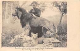 ESPOSITION DE LIONS PA M. L'ABBE GERARD- CURE DE VOUE ( AUBE ) NATURALISTE- PREPARATEUR DU MUSEE DE TROYES - Lions