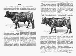 UNE NOUVELLE VARIETE BOVINE - LA RACE BORDELAISE       1907 - Aquitaine