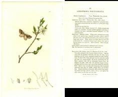 JOHN CURTIS, BRITISH ENTOMOLOGY, TAVOLA 81, 1825, LOBOPHORA POLYCOMATA Original Hand-Colored Lithograph - Old Books